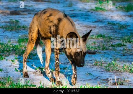 African wild dogs, near Kwando Concession, Linyanti Marshes, Botswana. African wild dogs are extremely endangered. - Stock Photo