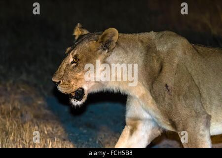 Female lion on the move at night, Kwando Concession, Linyanti Marshes, Botswana. - Stock Photo