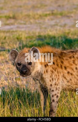 Spotted hyena, Kwando Concession, Linyanti Marshes, Botswana. - Stock Photo