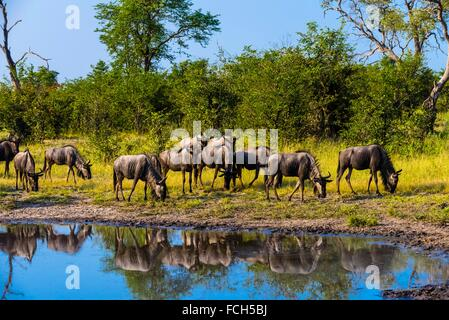 Blue wildebeest (gnu), Kwando Concession, Linyanti Marshes, Botswana. - Stock Photo