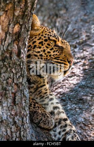 A leopard reveals itself through a tree limb, Linyanti Marshes, Botswana. - Stock Photo