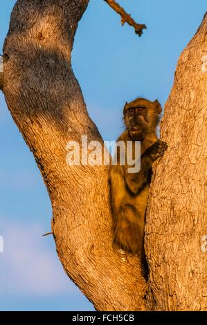 Baboons in trees, Lebala Camp, Kwando Concession, Linyanti Marshes, Botswana. - Stock Photo