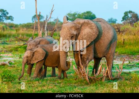 Elephants, Kwando Concession, Linyanti Marshes, Botswana. - Stock Photo