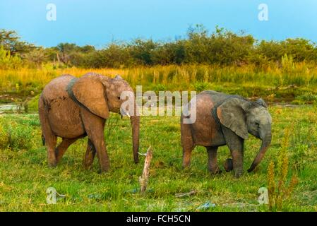 Baby elephants, Kwando Concession, Linyanti Marshes, Botswana. - Stock Photo