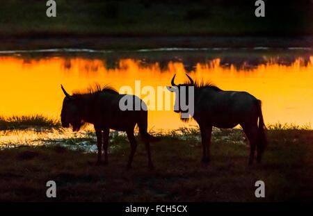 Blue wildebeest (gnu) after sunset at a watering hole, Kwando Concession, Linyanti Marshes, Botswana. - Stock Photo