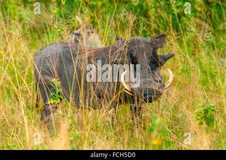 Warthogs, Kwando Concession, Linyanti Marshes, Botswana. - Stock Photo