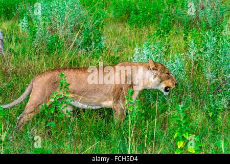 Female lion, Kwando Concession, Linyanti Marshes, Botswana. - Stock Photo