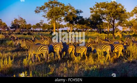 Herd of zebras, Kwando Concession, Linyanti Marshes, Botswana. - Stock Photo