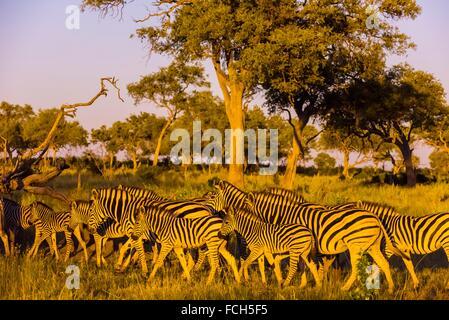Herd of zebras, Kwando Concession, Linyanti Marshes, Botswana. - Stock Photo