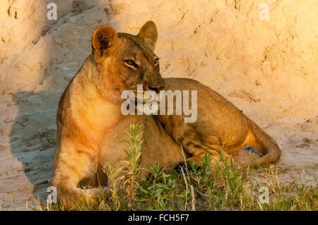 Lioness, Kwando Concession, Linyanti Marshes, Botswana. - Stock Photo