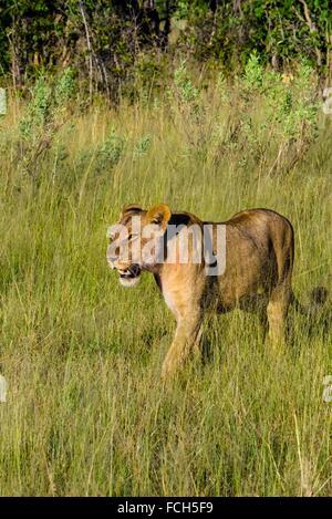 Lioness walking, Kwando Concession, Linyanti Marshes, Botswana. - Stock Photo
