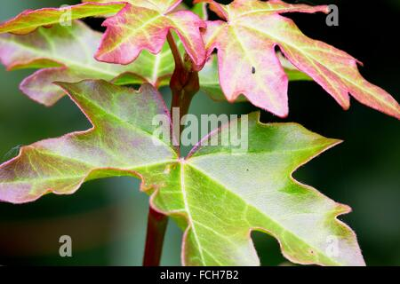 Leaves of Field Maple Acer campestre - Central Franconia, Bavaria/Germany - Stock Photo