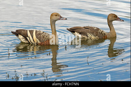 Pair of spectacular plumed / grass whistling ducks, Dendrocygna eytoni drifted on & reflected in blue water of lake - Stock Photo