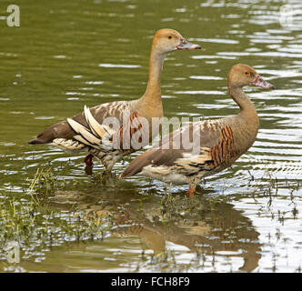 Pair of spectacular plumed / grass whistling ducks, Dendrocygna eytoni wading in shallow water of lake in Australia - Stock Photo