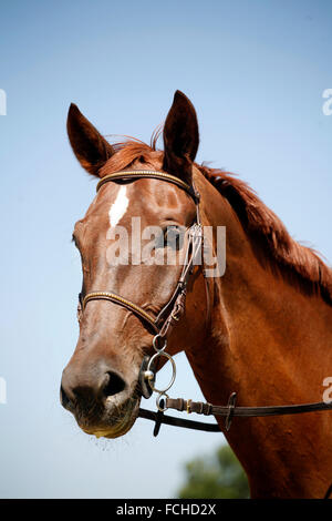 Beautiful purebred chestnut horse looking at camera - Stock Photo