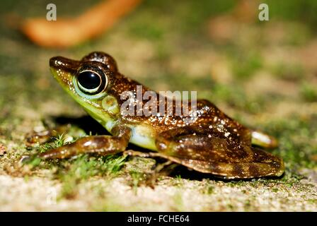 Black-spotted Rock Frog (Staurois guttatus) in a hole in Kubah national park, Sarawak, Malaysia, Borneo. - Stock Photo