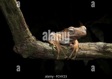 File-eared tree frog Polypedates otilophus - Stock Photo