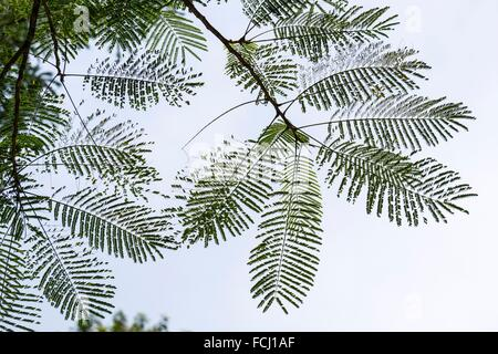 Shooting backlit hairy leaves at Semengoh Wildlife Centre, Kuching, Sarawak, Malaysia. - Stock Photo