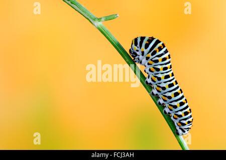Swallowtail Caterpillar , Papilio Machaon,.. - Stock Photo