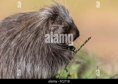 Cute porcupine (Erethizon dorsatum) feeding on some flowers, captive, California, USA - Stock Photo
