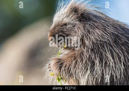 Cute porcupine (Erethizon dorsatum) feeding on some flowers, captive, California, USA - Stock Photo