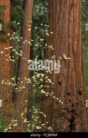 Pacific dogwood with sequoia in North Grove, Calaveras Big Trees State Park, Ebbetts Pass National Scenic Byway, - Stock Photo