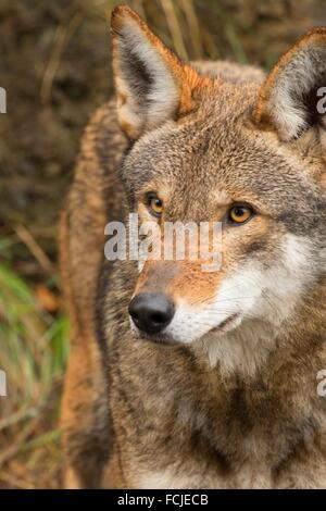 Red wolf, Point Defiance Zoo and Aquarium, Point Defiance Park, Tacoma, Washington. - Stock Photo