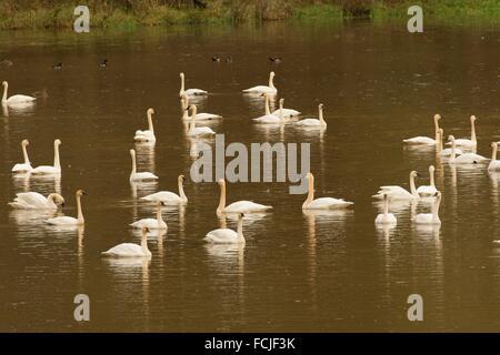 Tundra swans, La Center Bottoms Natural Area, La Center, Washington. - Stock Photo