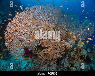 Gorgonian Gorgonia flabellum. Red Sea, Sharm el-Sheikh, Egypt. - Stock Photo