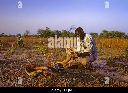 man preparing an just catched iguana to cook it on firewood in savanna, Chad, Central Africa. - Stock Photo