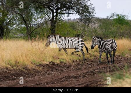 Zebras crossing the track in the Nechisar Park, Arbaminch, Africa - Stock Photo