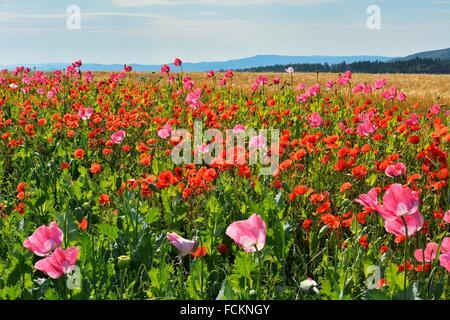 Opium Poppy, Papaver somniferum, and Corn Poppy, Papaver rhoeas, Field, Summer, Germerode, Hoher Meissner, Werra - Stock Photo