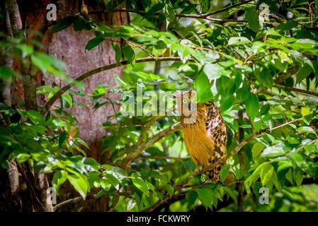 Wild buffy fish-owl (Bubo ketupu) in Way Kambas National Park, Sumatra, Indonesia. - Stock Photo