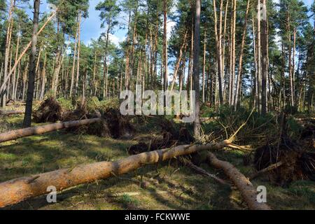 Storm Damage in a Forest. Lower Saxony. Germany - Stock Photo