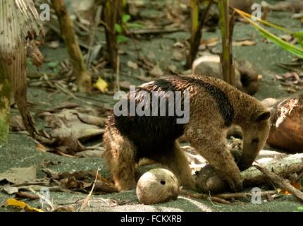 Northern Tamandua, tamandua mexicana, Anteater, Corcovado National Park, Costa Rica. - Stock Photo
