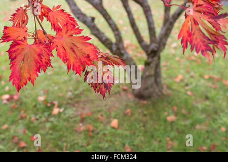 Red foliage of a japanese maple tree (Acer palmatum) in fall - Stock Photo