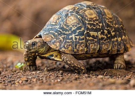 leopard tortoise on the move. Masai Mara National Reserve, Kenya - Stock Photo