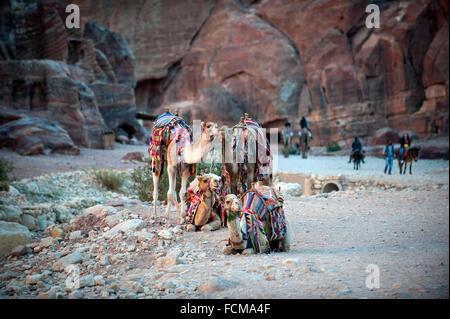 Bedouin Camels taking a rest at Petra, Jordan. - Stock Photo