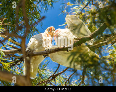 Long billed corella chick being fed by parent bird - Stock Photo