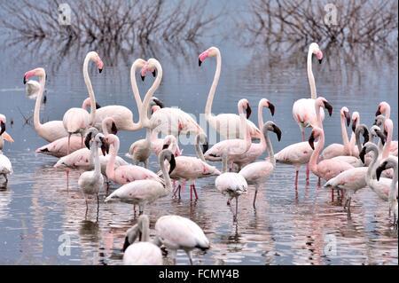 Lesser Flamingos, Phoeniconaias minor, and Greater Flamingos, Phoenicopterus roseus, at Lake Bogoria in the Rift - Stock Photo