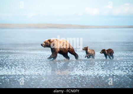 Three Grizzly Bears, Ursus arctos, mother and two Spring Cubs, running across the tidal flats of the Cook Inlet, - Stock Photo