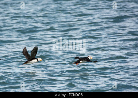 Two Horned Puffins, Fratercula corniculata, in flight near Duck Island, Cook Inlet, Lake Clark National Park, Alaska, - Stock Photo