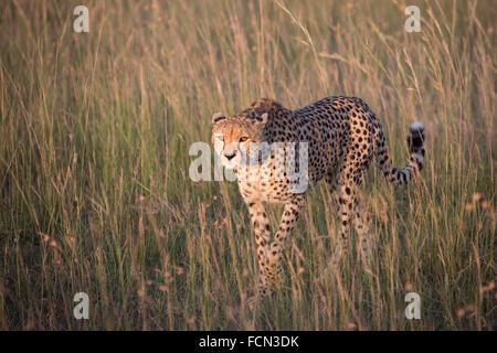 A cheetah approaches - Stock Photo