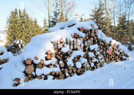 Landscape of cut down trees in a Norway spruce (Picea abies) forest on a sunny day in winter. - Stock Photo