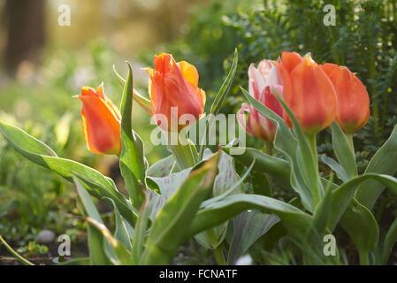 Close-up of garden tulip (Tulipa spec. ) blossoms in spring. - Stock Photo