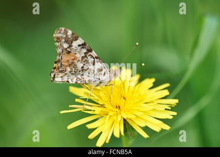 Close-up of a Painted Lady (Vanessa cardui) sitting on a common dandelion (Taraxacum officinale) in early summer. - Stock Photo