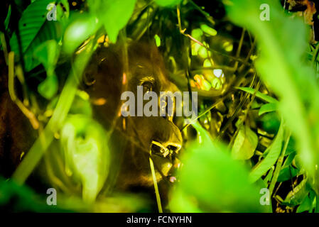 Adult female of bornean orangutan eating below tree canopy in Kalimantan, Indonesia. - Stock Photo