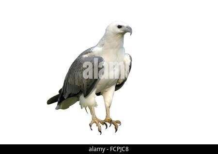 white bellie sea eagle isolated - Stock Photo