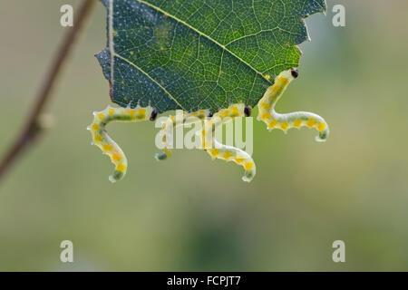 Birch Sawfly Larvae; Cimbex femoratus Four; Eating a Leaf; Yorkshire; UK - Stock Photo
