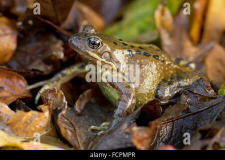 Common Frog; Rana temporaria Single with Autumn Leaves; Cornwall; UK - Stock Photo